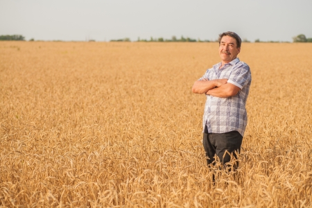 wheatfield: farmer standing in a wheat field, looking at the crop
