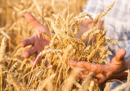 Ripe golden wheat ears in her hand the farmer Stock Photo