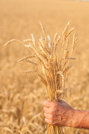Ripe golden wheat ears in her hand the farmer 版權商用圖片