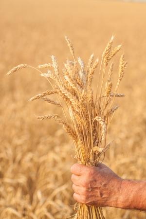 Ripe golden wheat ears in her hand the farmer Standard-Bild