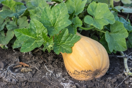 Couple of pumpkins in a farm field Stock Photo - 21340340