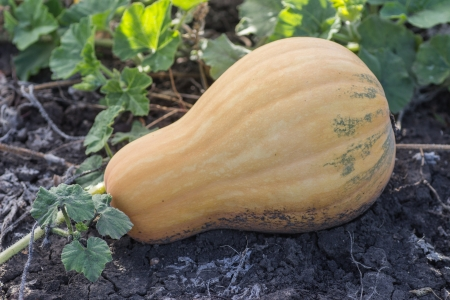 Couple of pumpkins in a farm field Stock Photo - 21340342