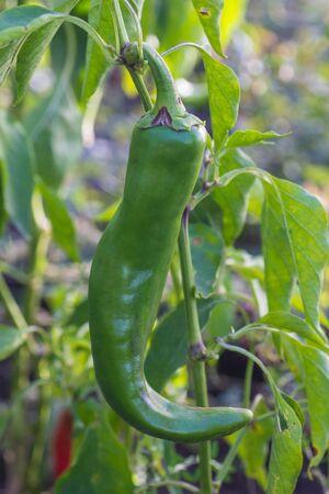 Green pepper in outside garden Фото со стока