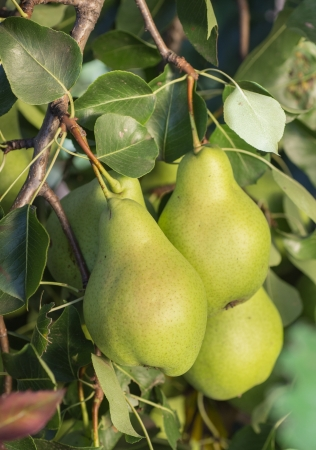 Many pear with branch details photo