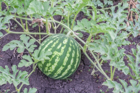 Agriculture - Natural watermelon growing in the field.