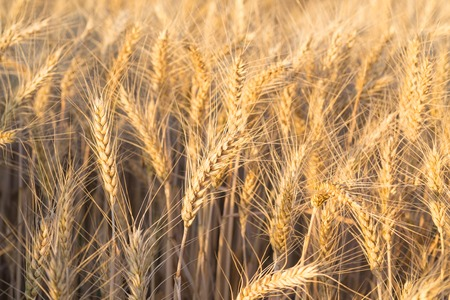 Close up of a wheat field - stock photo Stock Photo - 25894335