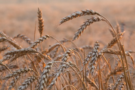 Close up of a wheat field - stock photo photo