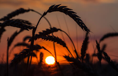 Grass Silhouette Against Sunset, Close up of ripening rye ears. photo