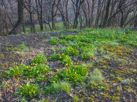Spring forest covered with daffodils   Spring photo photo