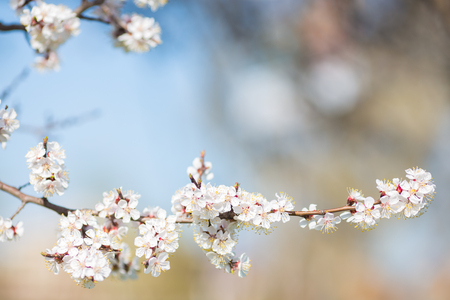 Photo of slightly blurred beautiful apricot white flowers photo