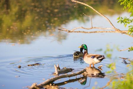 mated: Beautiful drake ducks on a pond Stock Photo