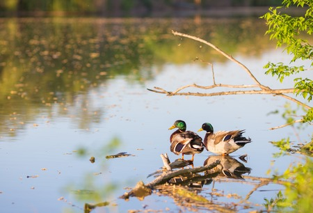 Beautiful drake ducks on a pond photo