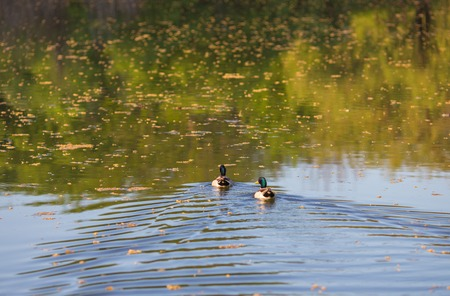 mated: Beautiful drake ducks swimming on a pond