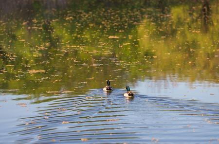 Beautiful drake ducks swimming on a pond