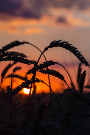 secale: Grass Silhouette Against Sunset, Close up of ripening rye ears. Shallow DOF. Secale cereale L. Stock Photo