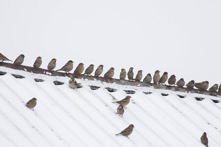 flock of sparrows sitting on the roof photo