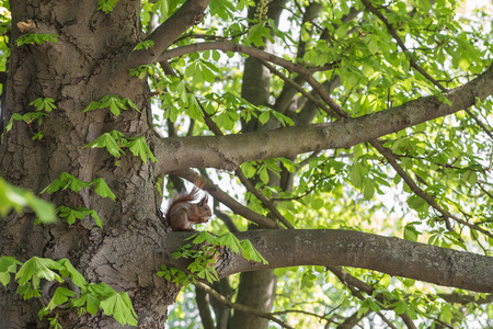 acorn tree: Squirrel eating nut in green forest.