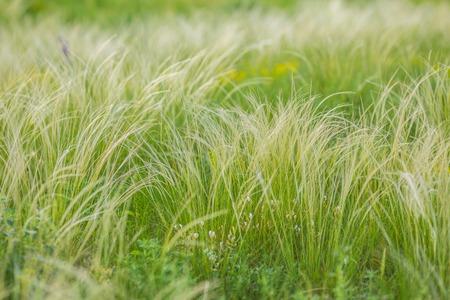 Feather Grass Standard-Bild