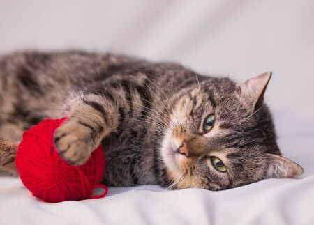cat playing with ball of red yarn on white background photo