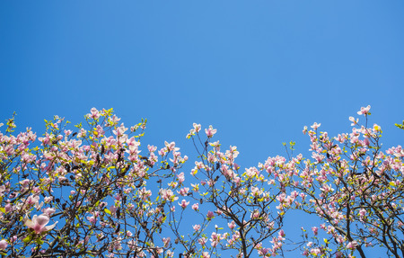 Magnolia flowers. Blooming magnolia tree in the spring