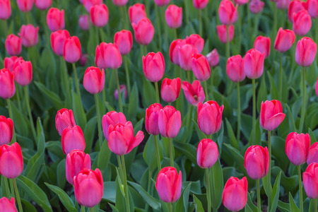 Group of red tulips in the park. Spring landscape. photo