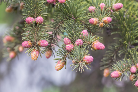 picea: Hanging branches of Picea omorika. Spring pink bumps Stock Photo