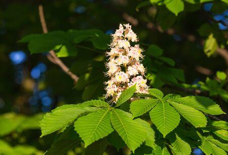 castanea sativa: Flowering branches of chestnut Castanea sativa tree