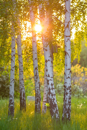 birch trees in a summer forest under bridht sun