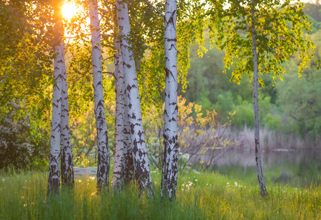 dark jungle green: birch trees in a summer forest under bridht sun