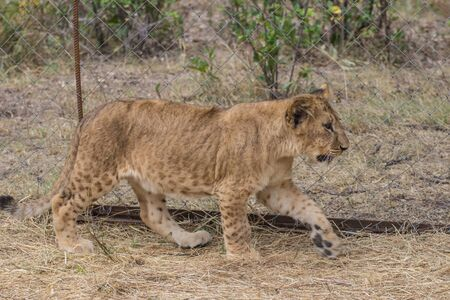 animal private: Photos of Africa, Lion cub head shot