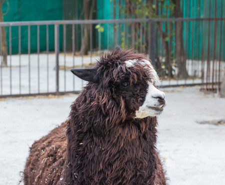 alpaca animal: cute lama alpaca animal closeup snout portrait