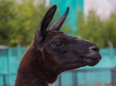 cute lama alpaca animal closeup snout portrait photo