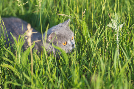 Grey british cat in the grass photo