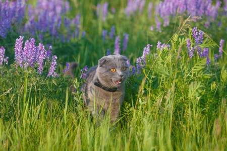 grey cat: Grey british cat in the green grass Stock Photo