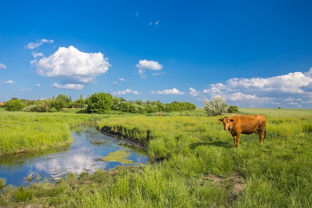 beautiful cow: green grass, river, clouds in blue sky and cows Stock Photo