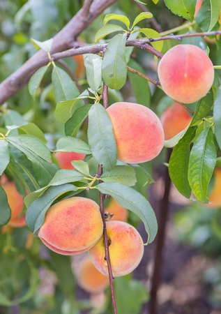 Plum, peach, tree with fruits growing in the garden