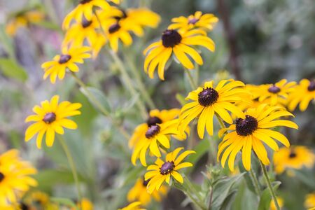 bright eyed: Bright yellow rudbeckia or Black Eyed Susan flowers in the garden