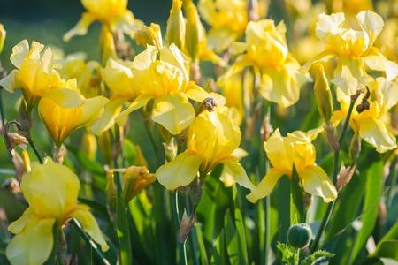 perianth: Iris flower. Yellow iris. Petals of a  flower of an iris.