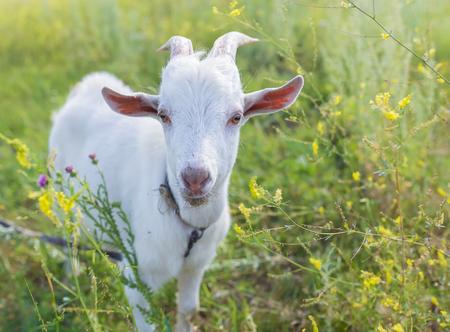 cabra: Retrato de una cabra de comer una hierba en el prado verde Foto de archivo