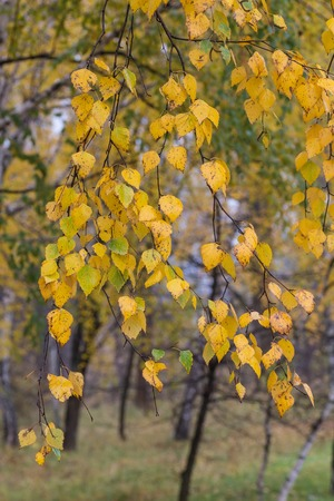 fall trees: Falling autumn birch leaves against blur forest background