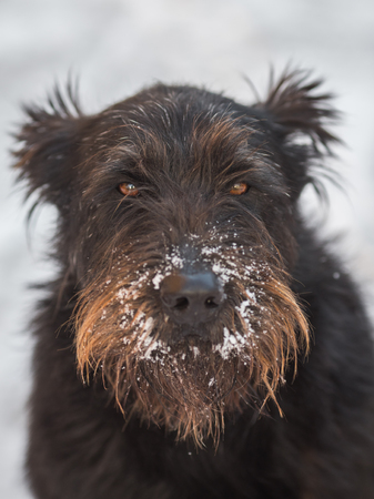 poodle mix: Serius dog schnauzer in the fresh snow