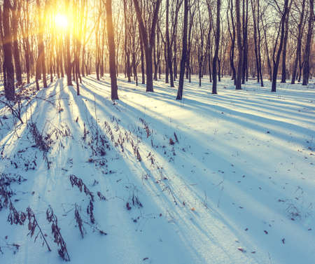 strains: Sunset in the wood between the trees strains in winter period Stock Photo