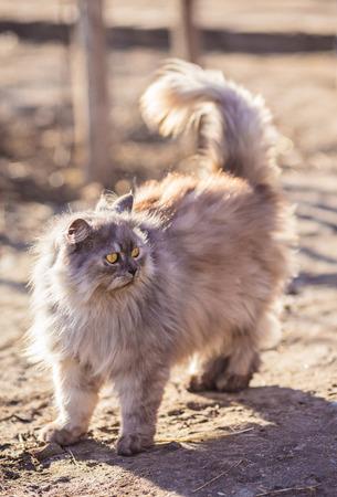 persian cat: Fluffy persian cat. Close up portrait in nature Stock Photo