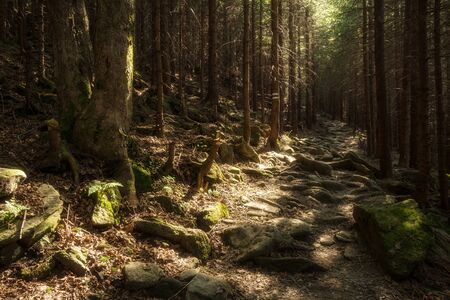 Forest path on the border between coniferous and deciduous trees. Stock Photo