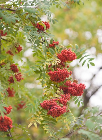 Rowan berries, Mountain ash Sorbus tree with ripe berry
