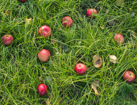 under ground: Red apples on the grass under apple tree. Autumn background - fallen red apples on the green grass ground in garden. Apple in the grass. Fallen fresh red apple in the grass