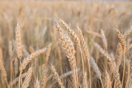golden wheat field and sunny day photo Stock Photo