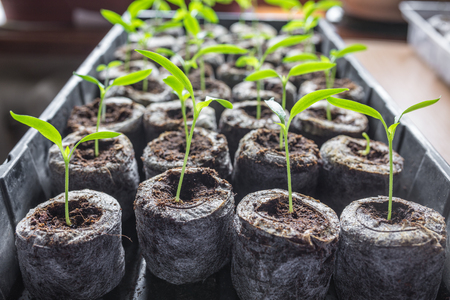 Young fresh seedling stands in plastic pots. cucumber plantation. cultivation of cucumbers in greenhouse. Cucumber seedlings sprout Selective focus and shallow Depth of field. Stock Photo