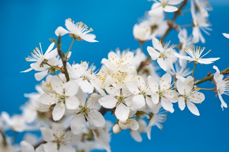 crab apple tree: Malus pumila - natural lovely pink fragrant spring flowers of a paradise apple-tree in small DOF