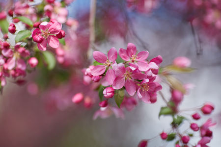The branch blooming with the pink flowers on the blurred background.